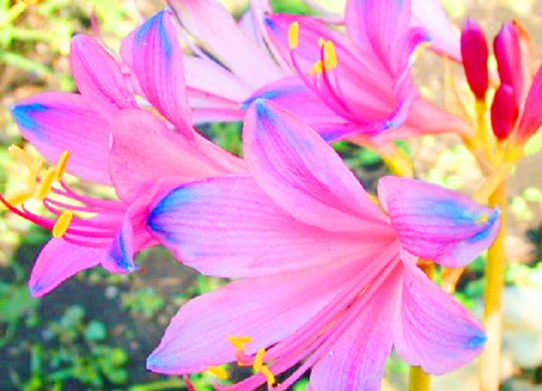 ดอก Blue Pink Lycoris Seeds / 20 เมล็ด