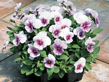 Viola Baby Face Orchid Frost ไวโอล่า เบบี้ เฟซ ออร์คิด ฟรอสต์ / 50 เมล็ด