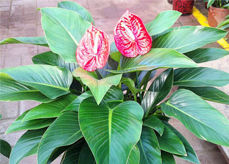 Philodendron Seeds / 20 เมล็ด