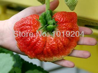 สตรอเบอรี่ Giant Strawberry /30 เมล็ด