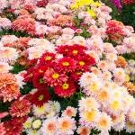 ดอกเบญจมาศดอกเล็ก คละสี / 30 เมล็ด