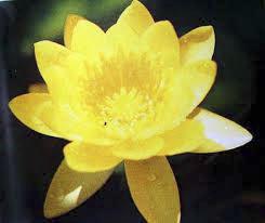 บัวสีไทยสีเหลือง / 50 เมล็ด