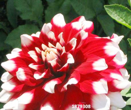 ดอกรักเร่แดงขอบขาว Red White spot Dahlia / 10 เมล็ด