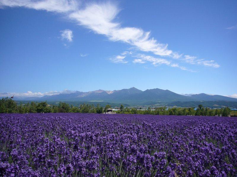 """ดอกป๊อปปี้""""ลาเวนเดอร์"""" (Lavender Poppy) / 20 เมล็ด"""