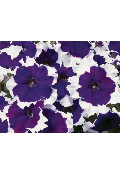 ดอกพิทูเนีย จัมโบ้ บลู ฟรอสต์ / 30 เมล็ด