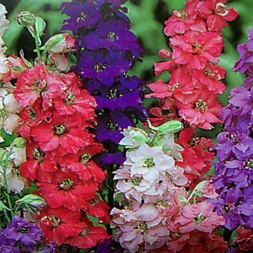 ดอก Delphinium Seeds (คละสี) / 30 เมล็ด