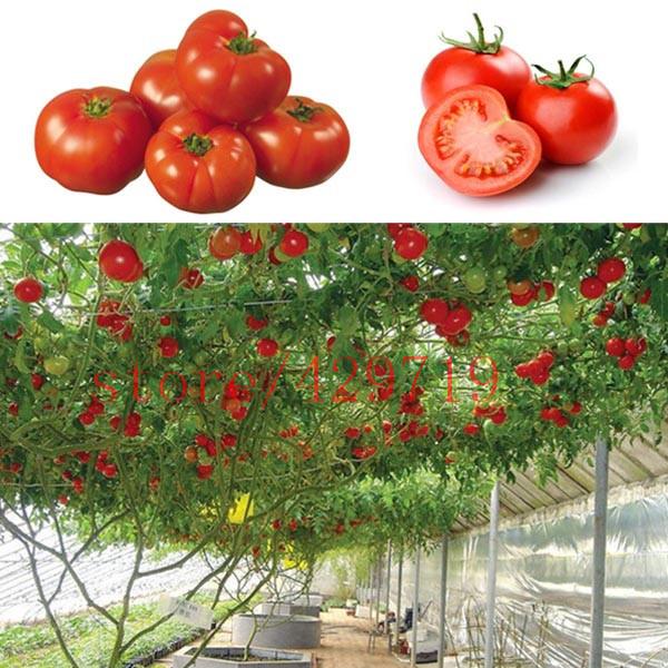มะเขือเทศต้น Tomato tree seeds / 10 เมล็ด
