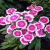 ดอกผีเสื้อ Star Deep Pink Center / 20 เมล็ด