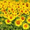 ทานตะวันดอกสีเหลือง / 100 เมล็ด