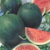 แตงโมหวาน ชูก้า เบบี้ Sugar Baby Watermelon / 10 เมล็ด