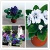 ดอก Saintpaulia Seeds (คละสี) / 20 เมล็ด