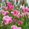 ดอก Poppy Seeds (ม่วง) / 50 เมล็ด