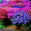 ดอก Cineraria (Mix) / 20 เมล็ด