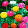 บานชื่นดอกซ้อน ลิลลี่พุท (คละสี)Mixed Lilliput Zinnia Flower / 30 เมล็ด