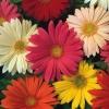 ดอกเยอบีร่า คละสี Gerbera Mix / 5 เมล็ด