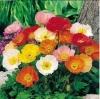ดอกป๊อปปี้ (คละสี) / 100 เมล็ด