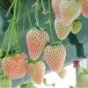 สตรอเบอรี่ขาว White strawberry /30 เมล็ด