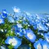 ดอก Nemophila : Baby blue eyes / 30 เมล็ด