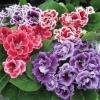 Gloxinia Double Brocade Mix กล็อกซิเนีย ดับเบิ้ล โปรเคด มิกซ์ / 50 เมล็ด