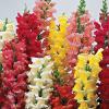 ดอกลิ้นมังกร ลิเบอร์ตี้ คลาสสิก มิกซ์ / 30 เมล็ด