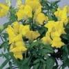 Antirrhinum Floral Showers Yellow ลิ้นมังกร ฟลอรอล ชาวเวอร์ เยลโล่ /50 เมล็ด