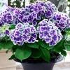 ไฮเดรนเยีย สีม่วงขอบขาว Hydrangea Purple / 10 เมล็ด