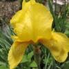 ดอกไอริส เจอมานิกา เหลือง / 5 เมล็ด