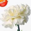 ดอก Carnation (ขาว) / 10 เมล็ด