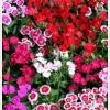 ดอกผีเสื้อ สตาร์ มิกซ์ / 20 เมล็ด