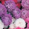 ดอกแอสเตอร์ มิเลดี้ มิกซ์ / 50 เมล็ด