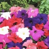 Petunia Limbo Mix พิทูเนีย ลิมโบ มิกซ์ / 50 เมล็ด