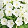 ดอก Petunia (Charming ) / 30 เมล็ด