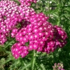 Achillea millefolium Yarrow Sneezewort Paprika mix Flower Bulk Seeds / 20 เมล็ด