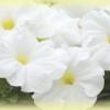 Petunia Multiflora Tornado White พิทูเนีย มัลติฟลอร่า ทอร์นาโด ไวท์/ 50 เมล็ด