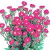 ดอกแอสเตอร์ (ไม้ตัดดอก) เรด / 50 เมล็ด