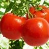 ไลโคปีน ( Lycopene ) มหัศจรรย์สารสีแดง