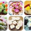ดอก Lithops Seeds Living Stones Succulent Cactus Mix(คละสี) / 20 เมล็ด
