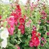 ดอกฮอลลี่ฮ็อค Hollyhock Flower / Mix / 20 เมล็ด