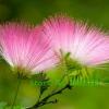 ดอก Albizia Julibrissin Tree (ชมพู) / 10 เมล็ด