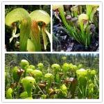 ดอก CARNIVOROUS COBRA LILY / 5 เมล็ด