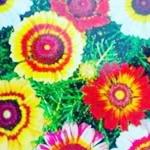 เบญจมาศดอกใหญ่สีรุ้ง(คละสี) / 30 เมล็ด
