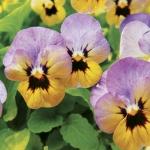 ดอกไวโอล่า เบบี้ เฟซ เยลโล่ ฟรอสต์ /20 เมล็ด