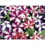 ดอกพิทูเนีย จัมโบ้ สตาร์ มิกซ์ / 50 เมล็ด