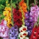 แกลดิโอลัส Gladiolus