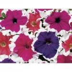 ดอกพิทูเนีย จัมโบ้ ฟรอสต์ มิกซ์ / 20 เมล็ด