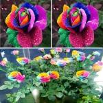 กุหลาบสีรุ้ง Rainbow Roses