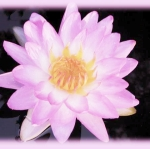 เมล็ดพันธ์ุดอกบัว