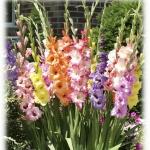 Gladiolus แกลดิโอลัส (คละสี) / 1 หัว