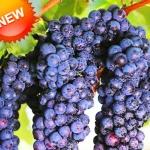 องุ่นดำต้นสูง Black Grape Seeds / 10 เมล็ด