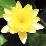 บัวสีฝรั่งดอกเหลือง / 50 เมล็ด